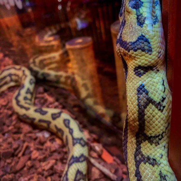 schöne Schlange